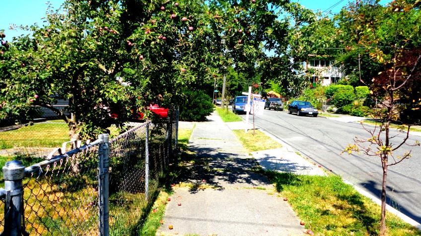 the neighbor's crab apple tree